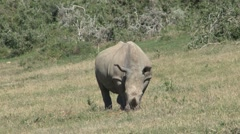 Rhino eating grass Stock Footage