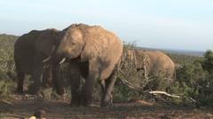 Group Elephants - stock footage