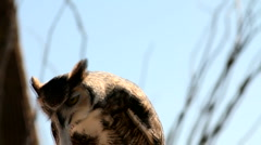 Great Horned Owl Eats Mouse Stock Footage