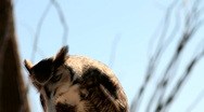 Stock Video Footage of Great Horned Owl Eats Mouse