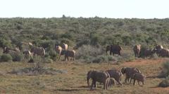 Big group Elephants - stock footage