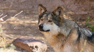Stock Video Footage of Mexican Wolf Sniffs Air