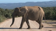 Stock Video Footage of Elephant crossing a road