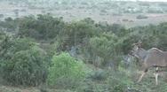 Nyalas walking Stock Footage