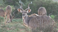 Stock Video Footage of Nyalas