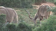 Nyalas eating grass Stock Footage