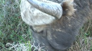 Stock Video Footage of Buffalo close up