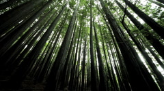Canopy of Forest Trees Stock Footage