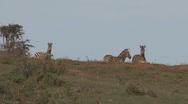 Stock Video Footage of Zebras watching
