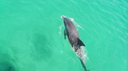 Stock Video Footage of Bottlenose Dolphin, Overhead Shot, Swimming, Slow Motion