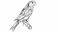 Sketch of a canary bird sitting on a branch Stock Footage