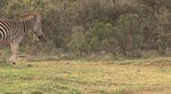 Stock Video Footage of Zebra walking
