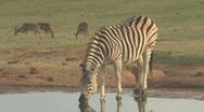 Stock Video Footage of Zebra drinking water