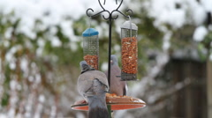 Pigeons on a bird table Stock Footage