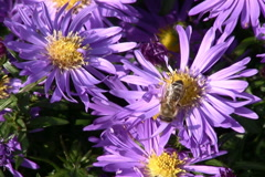 Aster and bee Stock Footage