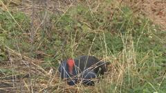 Pukeko bird leaves nest Stock Footage
