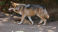Stock Video Footage of Mexican Wolf Habitat
