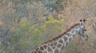 Stock Video Footage of Giraffe walking