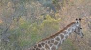 Stock Video Footage of Giraffe walking