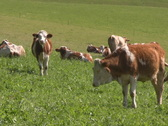 Stock Video Footage of Cattle