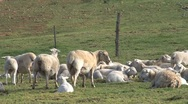 Sheeps, South Africa Stock Footage
