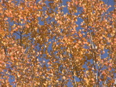 Stock Video Footage of Birch leaves