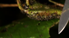 Opening a leaf node or Domatium Cordia nodosa to show symbiotoic ants inside Stock Footage