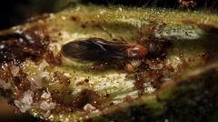 A leaf node or Domatium of Cordia nodosa to show symbiotoic ants inside Stock Footage