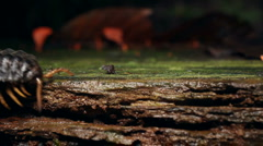 Giant Flat-backed millipede (Polydesmidae) Stock Footage