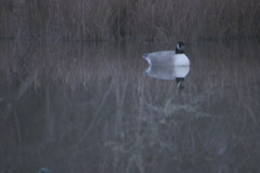 Goose Hunting Decoy - stock footage