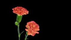 Time-lapse of growing red Dianthus flower with alpha matte 4b Stock Footage