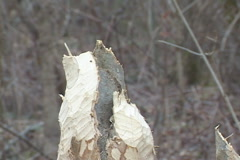 Beaver Tree Damage - stock footage