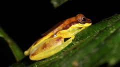 Red Skirted Treefrog (Dendropsophus rhodopeplus) Stock Footage