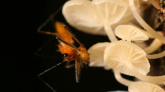 Assassin bug feeding on a fruit fly on a fungus covered trunk Stock Footage