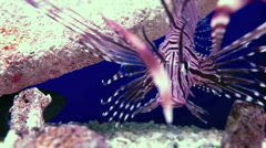 LION FISH-001 - stock footage