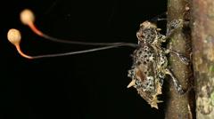 Cordyceps fungus parasitizing a weevil Stock Footage