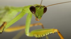 Praying Mantis. Stock Footage