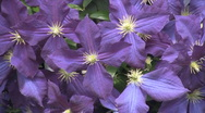 Stock Video Footage of Purple Flowers HD