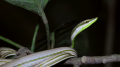 Striped Sharpnose Snake (Xenoxybelis argenteus) Stock Footage