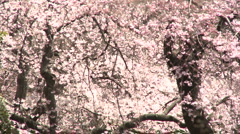 Cherry Blossom inTokyo Ueno park   panoramic with crowd Stock Footage