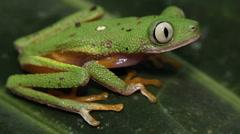 Leaf Frog (Agalychnis hulli) - stock footage