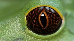 Tarsier Monkey Frog (Phyllomedusa tarsius) Stock Footage