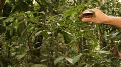 Coca bush (Erythroxylum sp.) Stock Footage