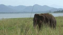 Elephant at Minneriya National Park, Sri Lanka Stock Footage