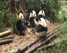 Pandas is eating - stock footage