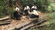 Pandas is eating Stock Footage