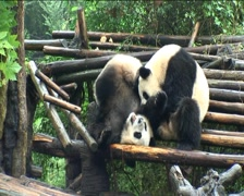 Pandas playing - stock footage