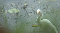 Great egret, Sri Lanka Stock Footage
