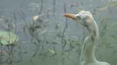 Great egret, Sri Lanka Stock Footage