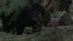 Black Bear Roaming 2 - stock footage